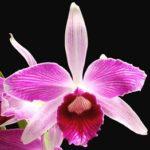 Национальный цветок Бразилии
